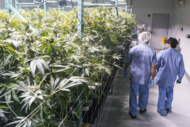 David Lipton, managing partner, and Ian Calandro, a production manager at Advanced Grow Labs, walk through one of the company's flower rooms. (Photo: Michelle McLoughlin for The Wall Street Journal)